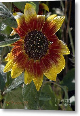 Metal Print featuring the photograph Sunflower by Michael Flood