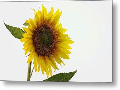 Sunflower Minimal Metal Print by Joseph Skompski