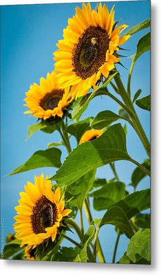 Sunflower Morning Metal Print