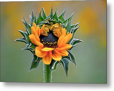 Sunflower Opens Metal Print by Emerald Studio Photography