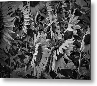 Sunflower Patch 001 Bw Metal Print by Lance Vaughn