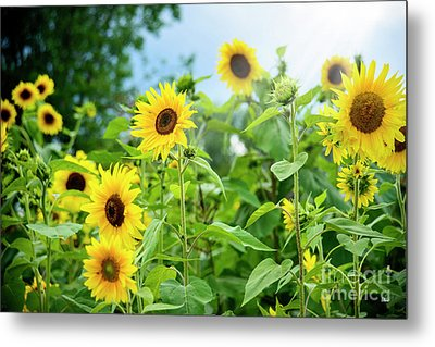 Sunflower Patch Metal Print by Alana Ranney