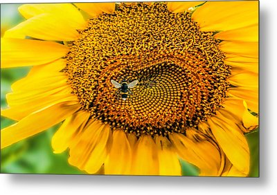 Sunflower Patch Metal Print by Pat Cook