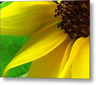 Sunflower Petals Metal Print by Juergen Roth