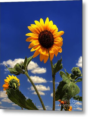 Metal Print featuring the photograph Sunflower by Pete Hellmann