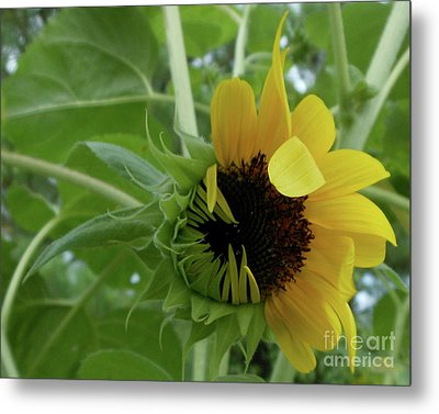 Sunflower Rising Metal Print