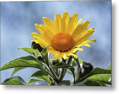 Metal Print featuring the photograph Sunflower  by Saija Lehtonen