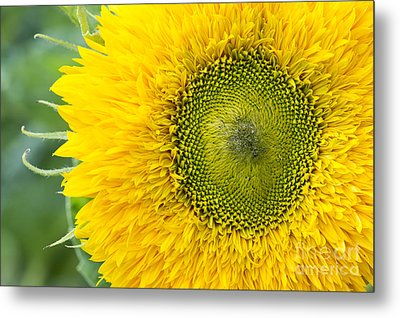 Sunflower Superted Metal Print by Tim Gainey