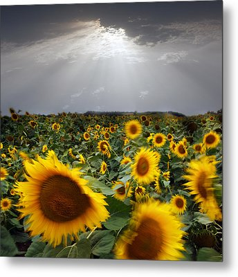 Sunflower Taking A Bow Metal Print by Floriana Barbu