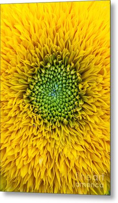 Sunflower Teddy Bear Metal Print by Tim Gainey