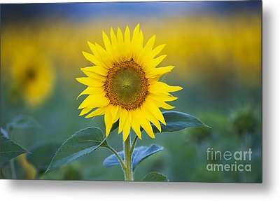 Sunflower Metal Print by Tim Gainey