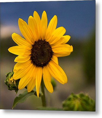 Sunflower Metal Print by William Wetmore