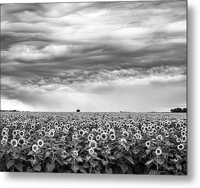 Sunflowers And Rain Showers Metal Print by Penny Meyers