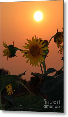 Sunflowers At Sunset Metal Print by Kathy  White