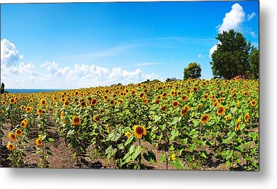 Metal Print featuring the photograph Sunflowers In Ithaca New York by Paul Ge