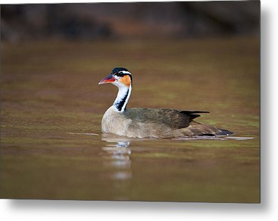 Sungrebe Heliornis Fulica Swimming Metal Print by Panoramic Images