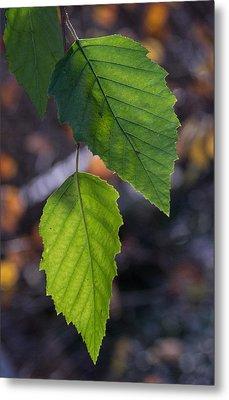 Sunlight Through Birch Leaf Branch Metal Print