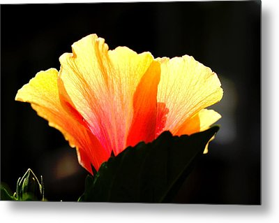 Metal Print featuring the photograph Sunlit Hibiscus by Diane Merkle