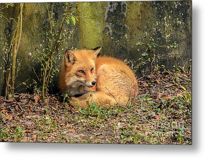 Sunning Fox Metal Print by Debbie Green