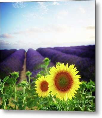 Sunrise Over Sunflower And Lavender Field Metal Print