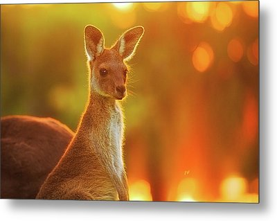 Sunset Joey, Yanchep National Park Metal Print by Dave Catley