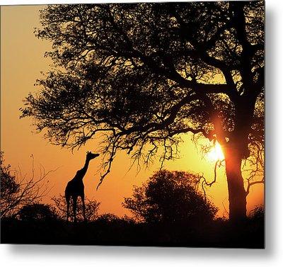 Sunset Silhouette Giraffe Eating From Tree Metal Print by Susan Schmitz