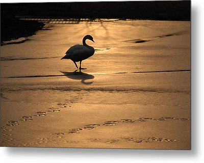 Metal Print featuring the photograph Sunset Swan by Richard Bryce and Family
