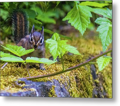 Metal Print featuring the photograph Surprised Chipmunk by Jonny D