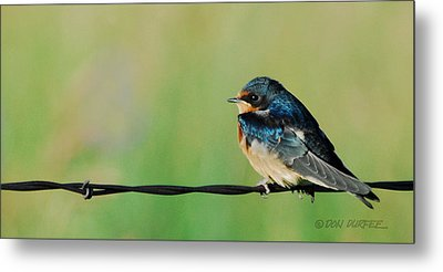 Metal Print featuring the photograph Swallow On Barbed Wire by Don Durfee