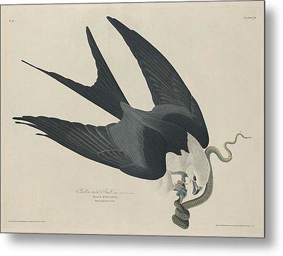 Swallow Tailed Hawk Metal Print by Rob Dreyer