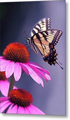 Metal Print featuring the photograph Swallowtail And Coneflower by Byron Varvarigos