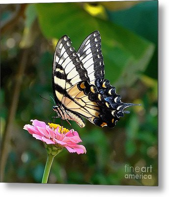 Swallowtail Butterfly 3 Metal Print by Sue Melvin