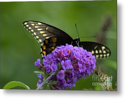 Swallowtail Butterfly Enjoying A Summer Breeze Metal Print