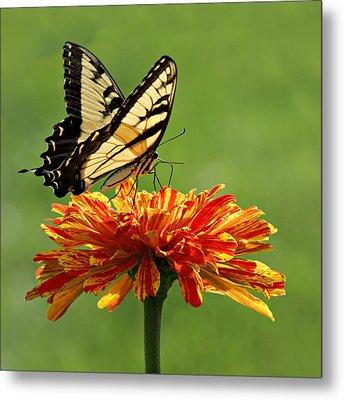 Swallowtail Butterfly - Zinnia Metal Print