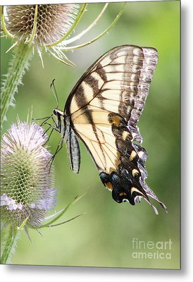 Swallowtail Delight Metal Print by Anita Oakley
