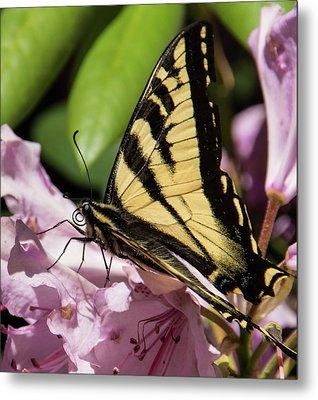 Swallowtail Butterfly Metal Print by Marilyn Wilson