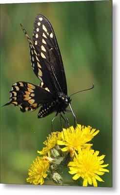 Swallowtail On Putney Mt. Metal Print by Gerald Hiam
