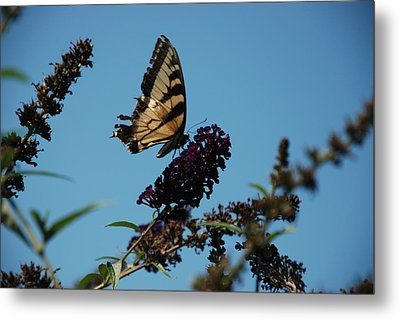 Swallowtail Metal Print by William Thomas