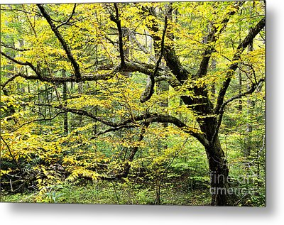 Swamp Birch In Autumn Metal Print by Thomas R Fletcher