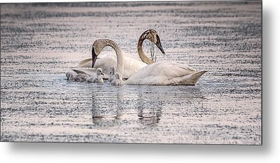 Swan Family Metal Print by Kelly Marquardt