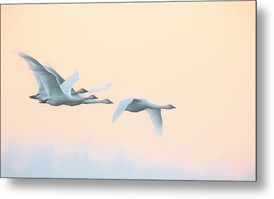 Metal Print featuring the photograph Swan Migration  by Kelly Marquardt