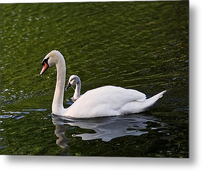 Swan Mother With Cygnet Metal Print by Rona Black
