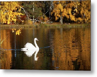 Swan On A Lake Metal Print
