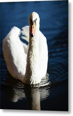 Swan Posing Metal Print