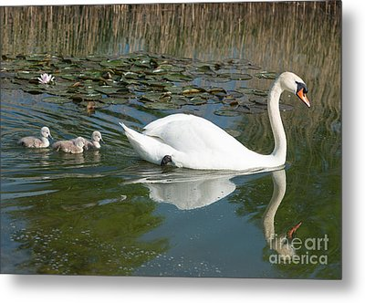 Swan Scenic Metal Print by Andrew  Michael