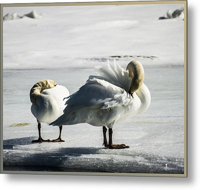 Swans On Ice Metal Print