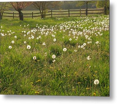 Swarming Dandelions Metal Print