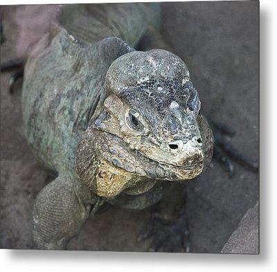 Metal Print featuring the photograph Sweet Face Of Rhinoceros Iguana by Miroslava Jurcik
