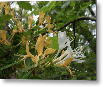 Sweet Honeysuckle Shrub Metal Print