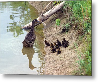 Metal Print featuring the photograph Swimming Lesson by Wanda Brandon